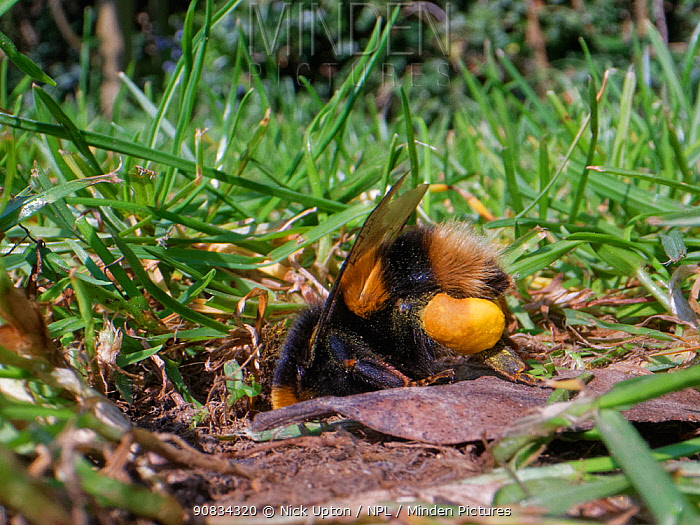 Buff-tailed bumblebee (Bombus terrestris) queen returning to her nest burrow in a garden lawn with full pollen sacs to provision grubs that will become future workers for her colony, Wiltshire, UK, April.