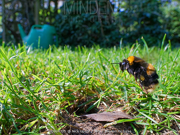 Buff-tailed bumblebee (Bombus terrestris) queen about to land at her nest burrow in a garden lawn with loaded pollen sacs to provision grubs that will become future workers for her colony, Wiltshire, UK, April.