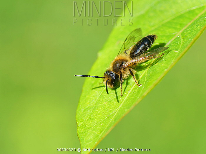 Chocolate / Hawthorn mining bee (Andrena scotica) sunning on a leaf, Wiltshire garden, UK, April.