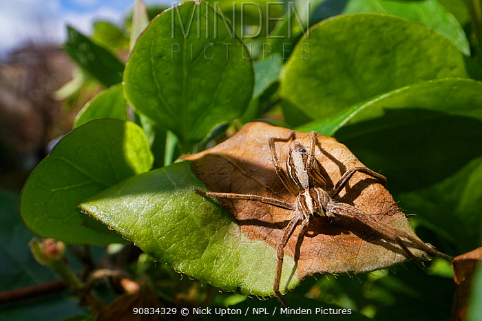 Nursery web spider (Pisaura mirabilis) hunting on a Honeysuckle leaf in a garden, with buildings in the background, Wiltshire, UK, April.