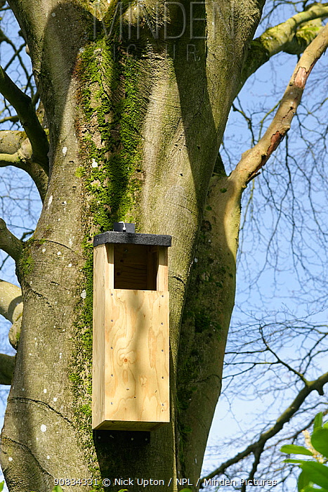 Nest box for Tawny owls (Strix aluco) hanging on a Beech tree trunk in a garden, Wiltshire, UK, April.