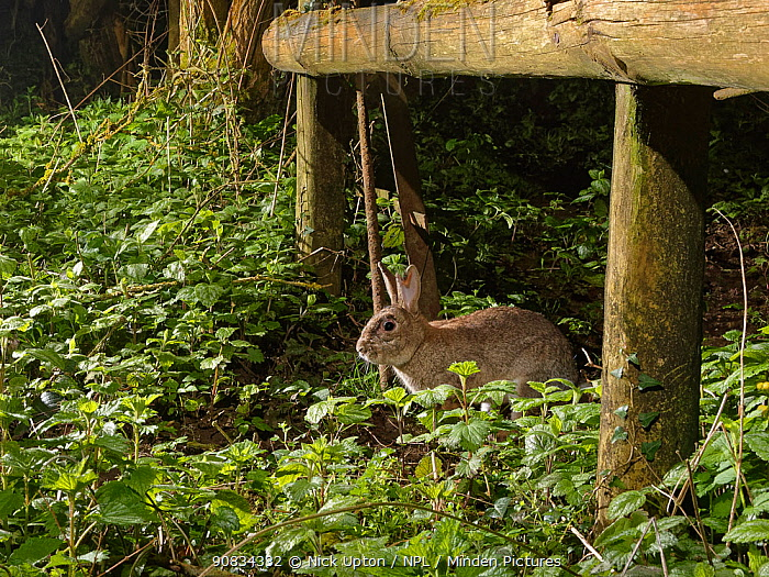 European rabbit (Oryctolagus cuniculus) using a trail under a fence separating a garden from surrounding woodland and meadows at night, Wiltshire, UK, April.