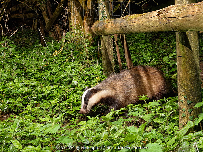 European badger (Meles meles) using a trail under a fence separating a garden from surrounding woodland and meadows at night, Wiltshire, UK, April.