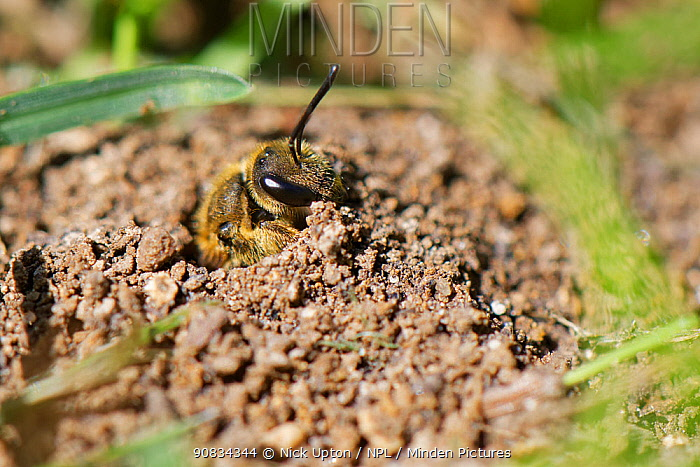 Common furrow bee / Slender mining bee (Lasioglossum calceatum) emerging from her nest burrow in a garden lawn, Wiltshire, UK, April.
