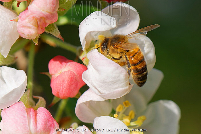 Honey bee (Apis mellifera) nectaring on a Crab apple (Malus sylvestnis) flower in a garden, Wiltshire, UK, April.