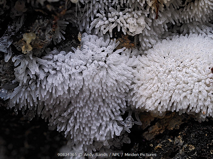 Slime mould (Ceratiomyxa fruticulosa), in reproductive phase. Close-up of massed fruiting bodies (sporangia), each bearing thousands of spores. Buckinghamshire, UK.
