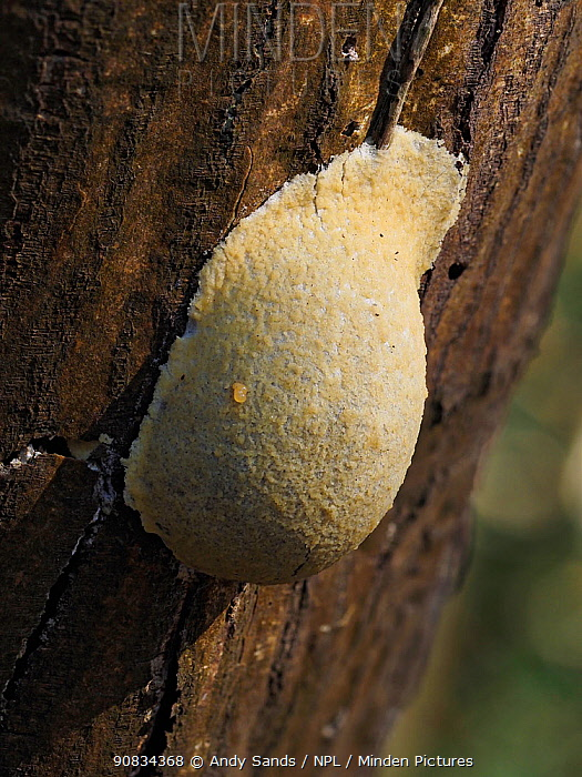 Slime mould (Enteridium lycoperdon), in reproductive phase. Close-up of spore-bearing fruiting body (aethalia). Buckinghamshire, UK.