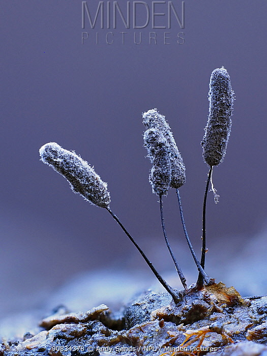 Slime mould (Comatricha fragilis), in reproductive phase. Close-up of spore-bearing fruiting bodies (sporangia). Buckinghamshire, UK.