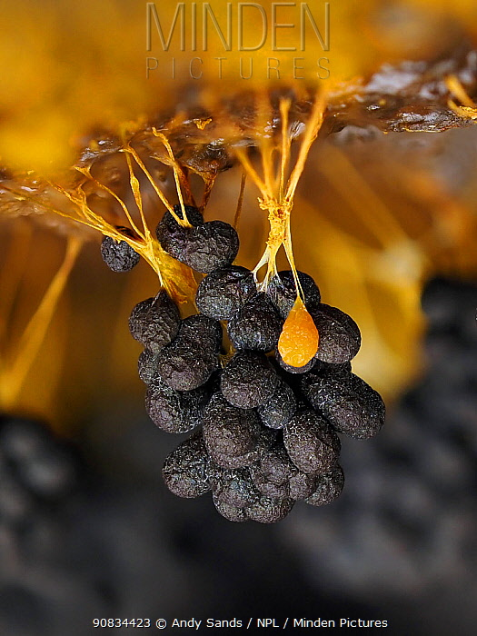 Slime mould (Badhamia utricularis), in reproductive phase. Close-up of spore-bearing fruiting bodies (sporangia). Buckinghamshire, UK.