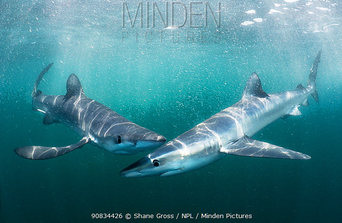 Blue sharks (Prionace glauca), two, in the open ocean off Rhode Island, USA. July.