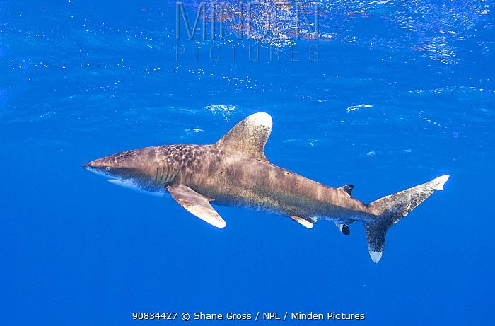 Oceanic Whitetip shark (Carcharhinus longimanus) juvenile, Cat Island, Bahamas. May.