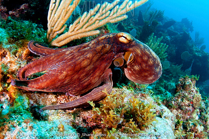 Common octopus (Octopus vulgaris) on a coral reef in The Bahamas. August.