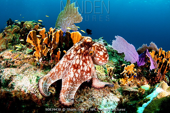 Common octopus (Octopus vulgaris) on a coral reef, The Bahamas. August.