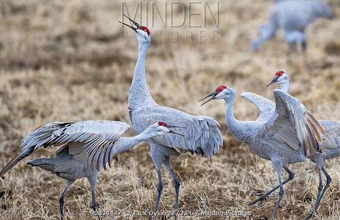 Sandhill cranes (Grus canadensis) in territorial confrontation, Bosque del Apache, New Mexico, USA. January.