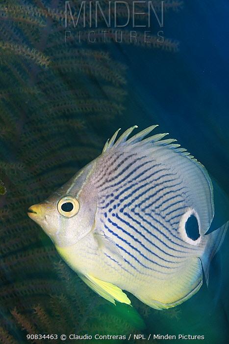 Foureye Butterflyfish (Chaetodon capistratus), Cienaga de Zapata National Park, Matanzas Province, Cuba.