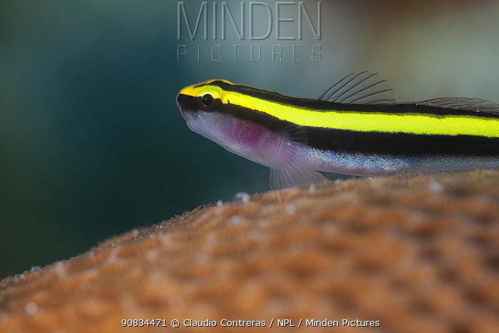 Sharknose Goby (Elacatinus / Gobiosoma evelynae), Cienaga de Zapata National Park, Matanzas Province, Cuba.
