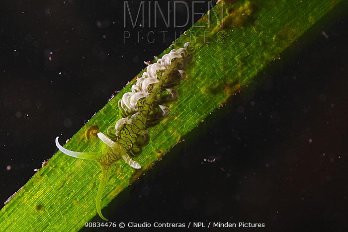 Aeolid Nudibranch (Spurilla sp.), Cienaga de Zapata National Park, Matanzas Province, Cuba.