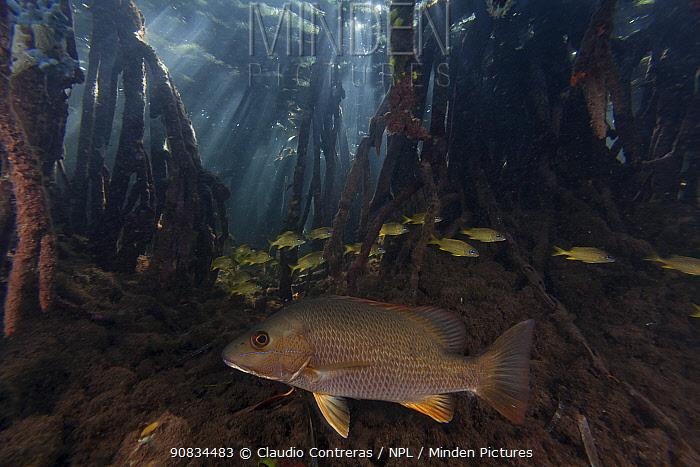 Gray / Grey snapper (Lutjanus griseus) and French grunt (Haemulon flavolineatum amongst Red mangrove (Rhizophora mangle) stilt, Jardines de la Reina / Gardens of the Queen National Park, Caribbean Sea, Ciego de Avila, Cuba.