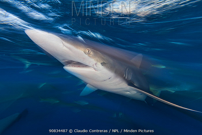 Silky shark (Carcharhinus falciformis), Jardines de la Reina / Gardens of the Queen National Park, Caribbean Sea, Ciego de Avila, Cuba.