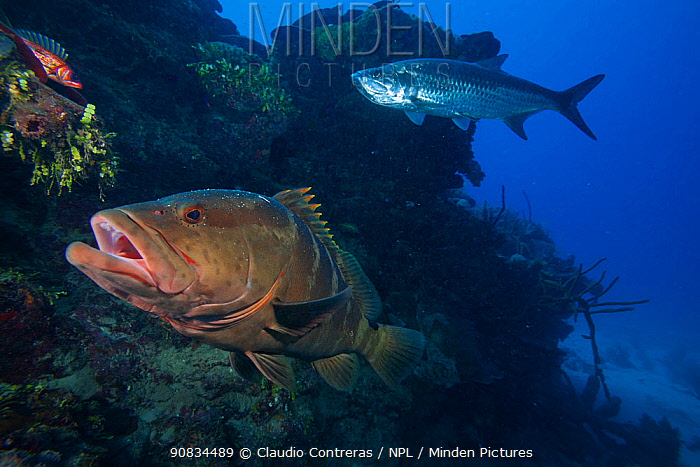 Nassau grouper (Epinephelus striatus) , Tarpon (Megalops atlanticus), and Longspine squirrelfish (Holocentrus rufus), Jardines de la Reina / Gardens of the Queen National Park, Caribbean Sea, Ciego de Avila, Cuba.