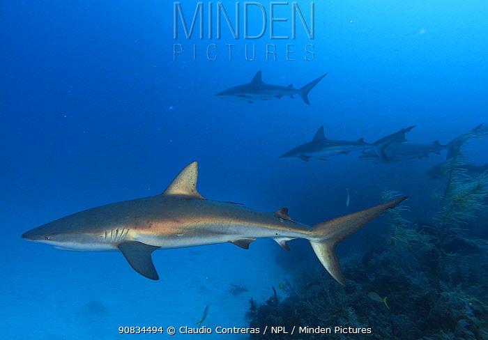 Caribbean reef shark (Carcharhinus perezi), Jardines de la Reina / Gardens of the Queen National Park, Caribbean Sea, Ciego de Avila, Cuba.