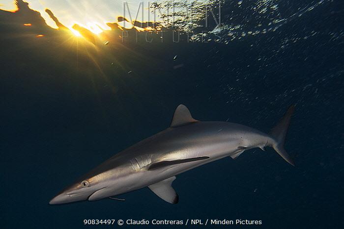 Silky Shark (Carcharhinus falciformis) with hook, Jardines de la Reina / Gardens of the Queen National Park, Caribbean Sea, Ciego de Avila, Cuba.