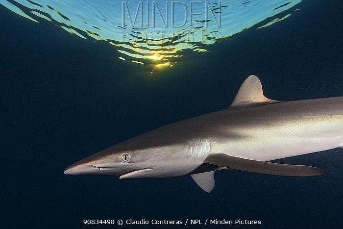 Silky shark (Carcharhinus falciformis) Jardines de la Reina / Gardens of the Queen National Park, Caribbean Sea, Ciego de Avila, Cuba.