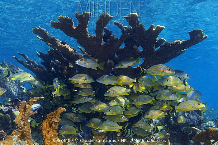 Schoolmaster snapper (Lutjanus apodus) and Bluestriped grunt (Haemulon sciurus) seeking protection in Elkhorn Coral (Acropora palmata), Jardines de la Reina / Gardens of the Queen National Park, Caribbean Sea, Ciego de Avila, Cuba.