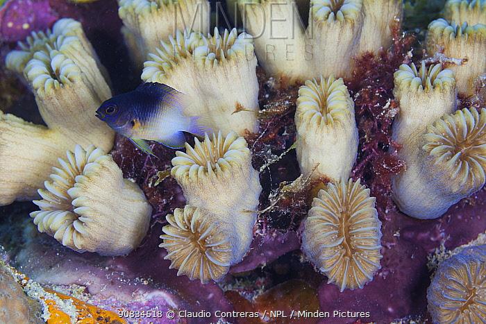 Bicolor damselfish (Stegastes partitus) and Smooth flower coral (Eusmilia fastigiana) colony, Guanahacabibes Peninsula National Park, Pinar del Rio Province, western Cuba.