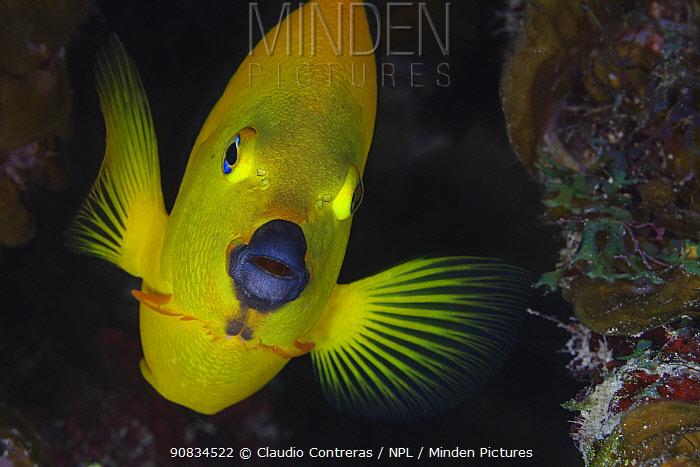 Rock beauty (Holacanthus tricolor), fish, Guanahacabibes Peninsula National Park, Pinar del Rio Province, western Cuba.