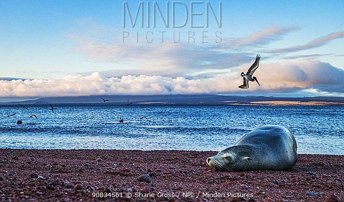 Galapagos Sea Lion (Zalophus californianus wollebacki) resting on a red sand beach, Brown pelicans (Pelecanus occidentalis) feeding on fish behind her. North Seymour Island, Galapagos, Ecuador. December.