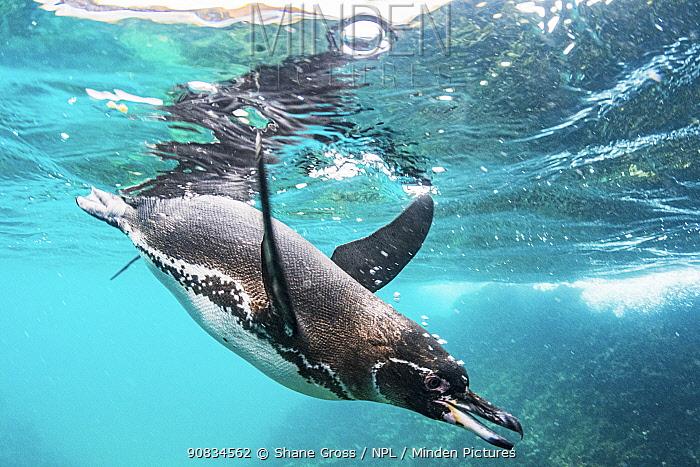 Galapagos penguin (Spheniscus mendiculus) hunting off Bartolome Islet, Santiago Island, Galapagos, Ecuador. December.