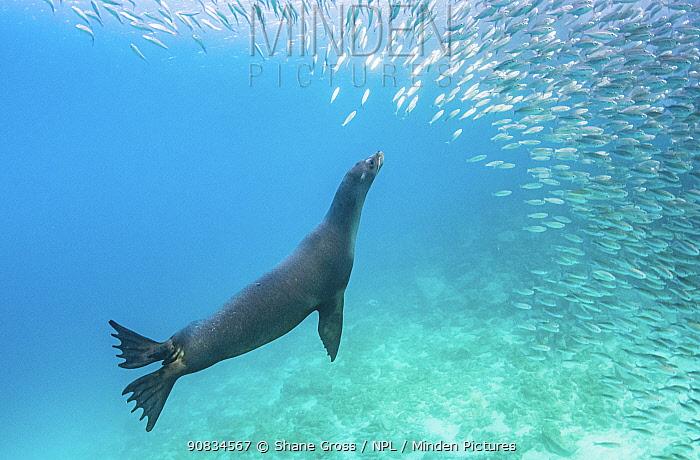 Galapagos sea lion (Zalophus wollebaeki) hunting shoal of Black striped salemas (Xenocys jessiae), Rabida Island, Galapagos, Ecuador. December.