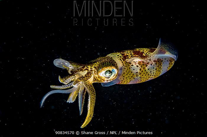 Caribbean reef squid (Sepioteuthis sepioidea) eating larval moray eel, Eleuthera, Bahamas.