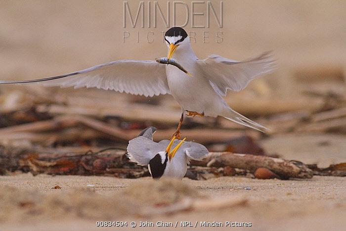 California least terns (Sternula antillarum browni) mating on the beach - male feeding female nuptial gift. Huntington Beach Least Tern Preserve, California, USA May