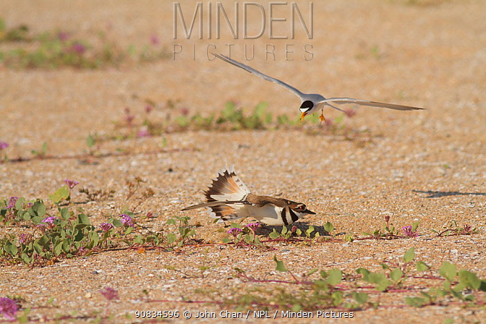California least tern (Sternula antillarum browni) driving off a Killdeer (Charadrius vociferus) that has ventured too close to its nest site, Bolsa Chica Ecological Reserve, California, USA May.