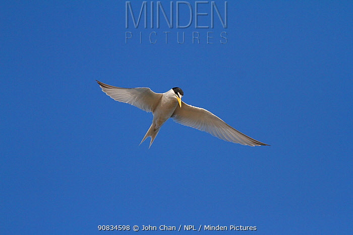 California least tern (Sternula antillarum browni) hovering while searching for prey, Bolsa Chica Ecological Reserve, California, USA June/2014