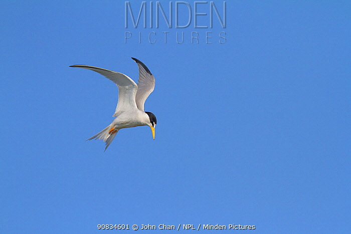 California least tern (Sternula antillarum browni) hovering while searching for prey, Bolsa Chica Ecological Reserve, California, USA June