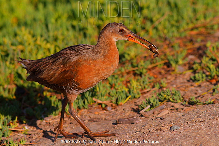 Ridgeway's rail (Rallus obsoletus levipes) carrying prey back to feed its chicks, Bolsa Chica Ecological Reserve, California, USA May.