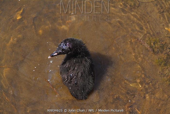 Ridgeway's rail (Rallus obsoletus levipes) chick bathing, Bolsa Chica Ecological Reserve, California, USA May.