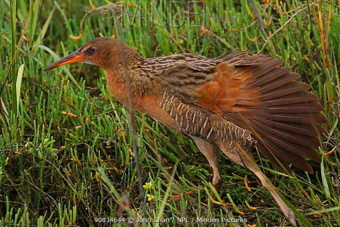 Ridgeway's rail (Rallus obsoletus levipes) stretching its wings, Bolsa Chica Ecological Reserve, California, USA March.