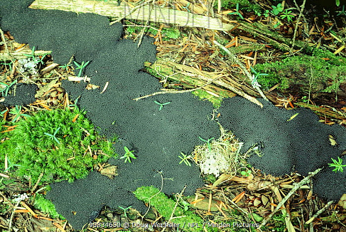 Slime mould (Myxomycetes) USA