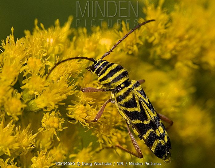 Locust Borer {Megacyllene robiniae} feeding on Goldenrod, Pennsylvania, USA