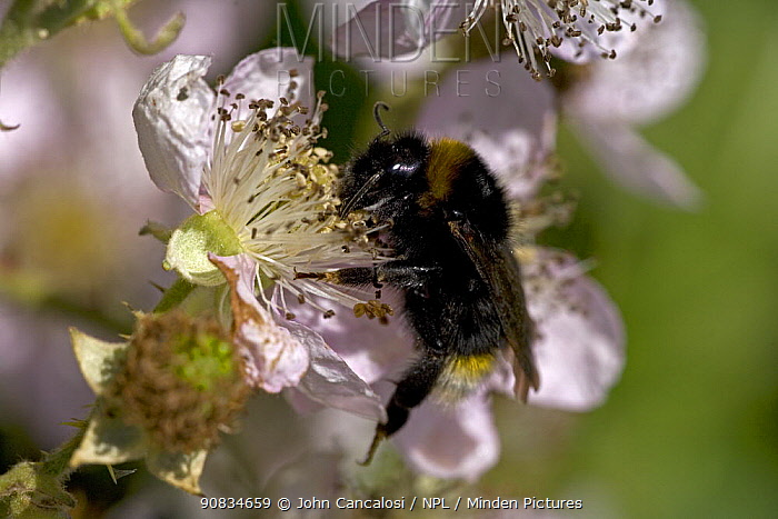 White-tailed Bumble Bee (Bombus lucorum) gathering pollen and nectar from Bramble flowers, UK