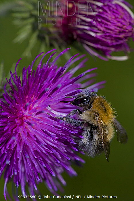 Carder Bee (Bombus sp) probably {Bombus pascuorum} collecting nectar and pollen from thistle flower, UK