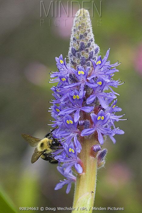 Bumble Bee {Bombus sp} on Pickerel weed {Pontederia cordata} New Jersey, USA