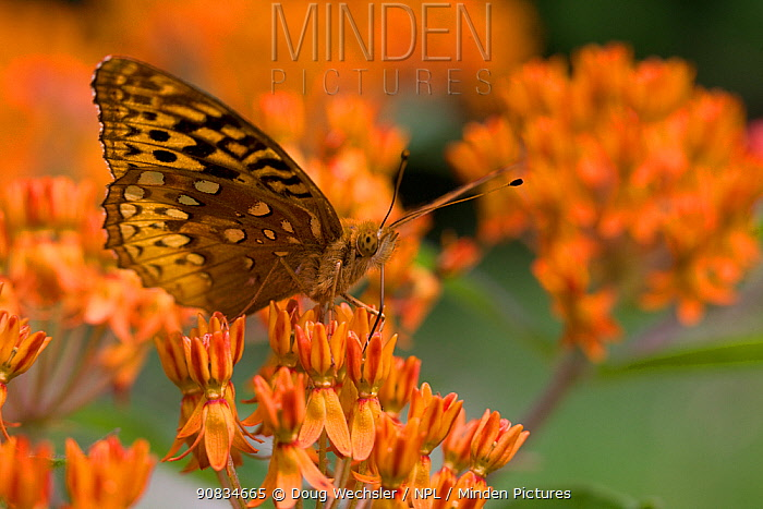 Great Spangled fritillary butterfly (Speyeria cybele) feeding on Butterflyweed (Asclepias tuberosa) Philadelphia, Schuylkill Center, Pennsylvania, USA