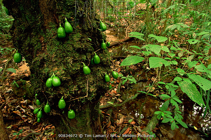 Interior view of lowland dipterocarp rainforest in Gunung Palung National Park, Borneo with fruiting Persimmon (Diospyros) tree. Fruits sprouting from trunk is an example of cauliflory. Indonesia.
