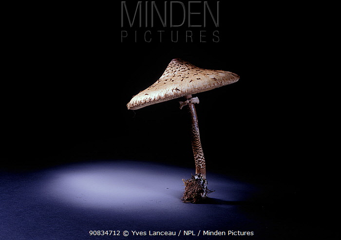 The parasol fungus (Macrolepiota procera) edible, showing spore dispersal pattern over 12 hours on black card