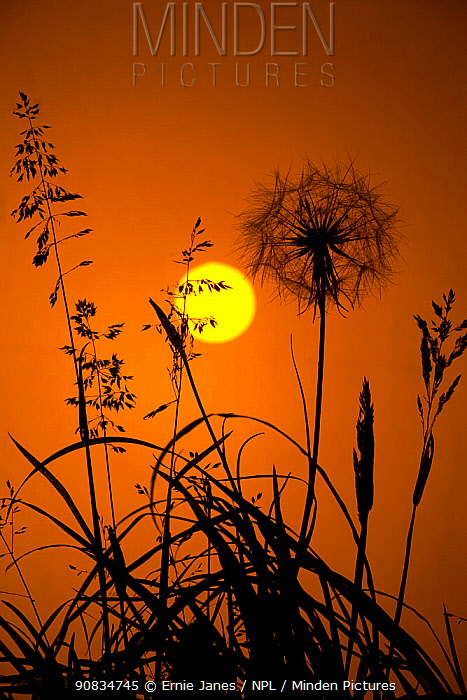 Goat's beard (Tragopogon pratensis) seedhead silhouetted at dawn, Norfolk, UK July